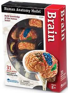 Learning Resources Brain Anatomy Model For Children - Science **New**