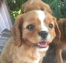 Ruby Cavalier King Charles Spaniel Pups Texas Inverell Area Preview
