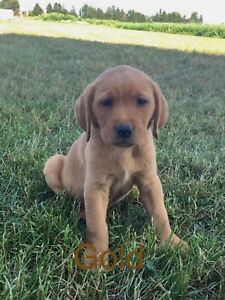 Dogs | Adopt Dogs & Puppies Locally in London | Kijiji Classifieds