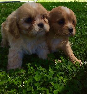 cavoodle pups Belimbla Park Wollondilly Area Preview