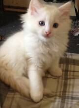 Ragdoll kittens purebred Red point boy Ringwood Maroondah Area Preview