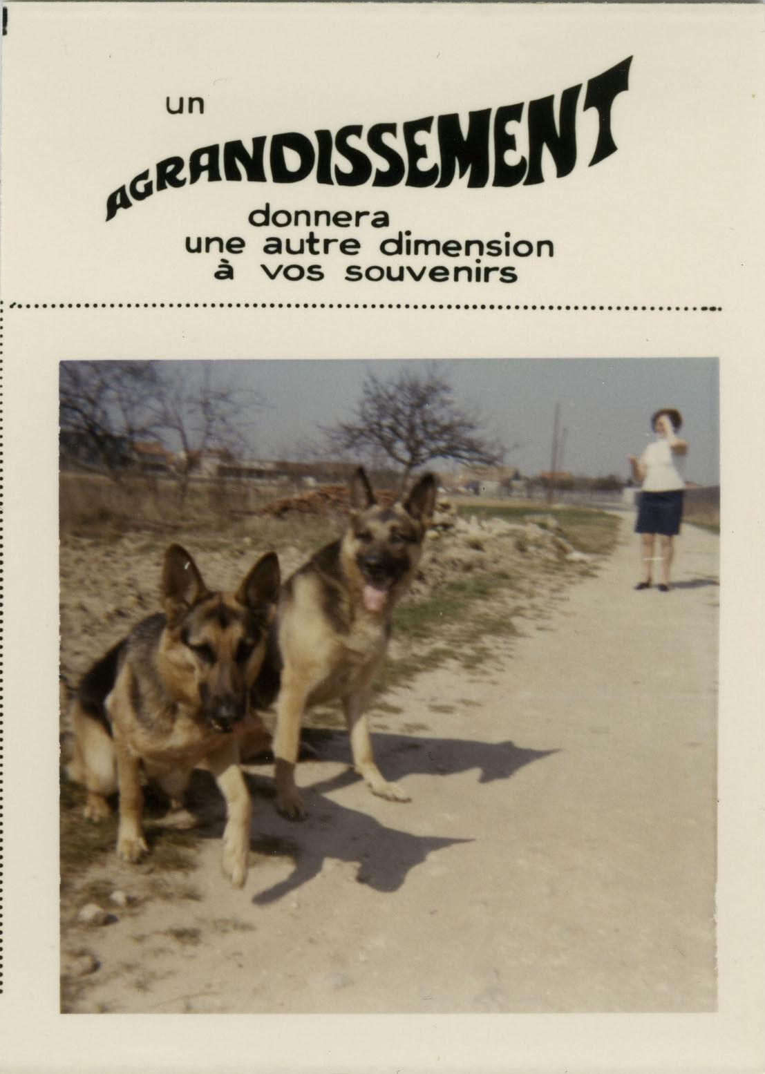 Photo ancienne - vintage snapshot - animal chien berger allemand bonus - dog 8