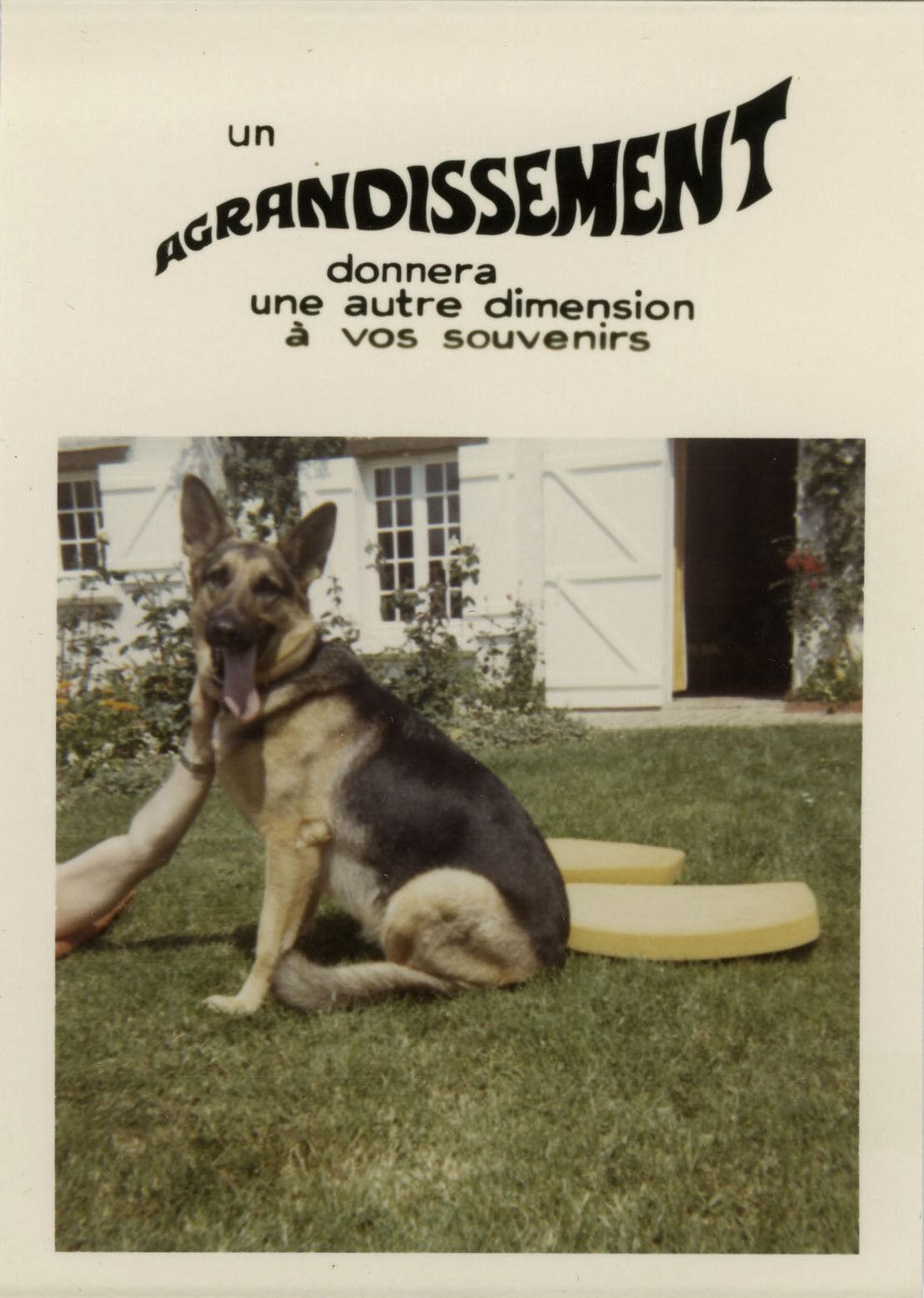 Photo ancienne - vintage snapshot - animal chien berger allemand bonus - dog 7