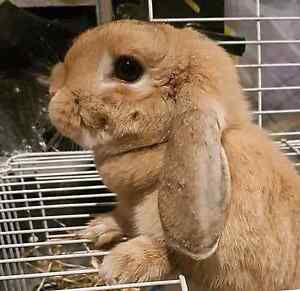 Found bunny Rutherford Maitland Area Preview