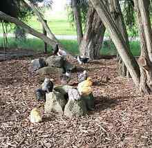 Chickens for Sale ( Pullet Girls ) Skye Frankston Area Preview
