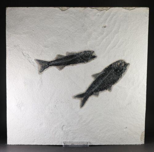 "Fossil Fish 5"" Mioplosus & Knightia Green River Formation Wyoming COA 10634"