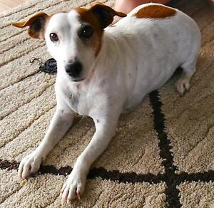 RESERVED - GREAT HOME WANTED for Jack Russel Female - 7 years old Murwillumbah Tweed Heads Area Preview