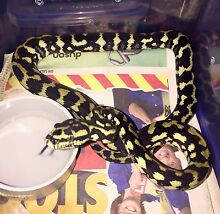 Jungle Python hatchling for sale Kewarra Beach Cairns City Preview