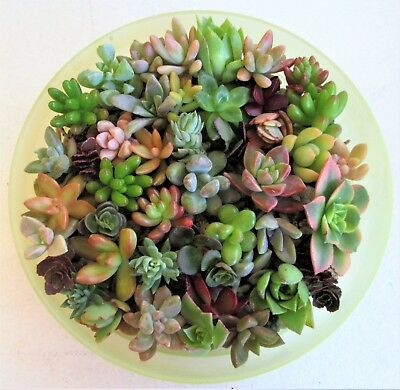 15 MINI ROSETTE Succulent Cuttings Fairy Garden, Wedding Favor + 2 FREE](Succulent Wedding)