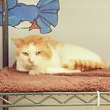 "Adult Female Cat - Domestic Short Hair: ""Griffin"""
