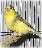 2 German Roller & 1 Spanish Canary for sale.