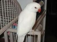 look white baby ringneck parrots 12 weeks old males and females easy to train with papers