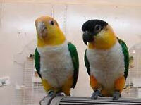 White Belly or Black Headed Caique Parrot