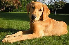 WANTED - Golden Lab / Retriever Mix - Serious Emails only