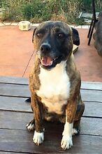 Free to Loving Home - Female Staffy x Jack Russell 5y/o Greenvale Hume Area Preview