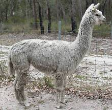 Suri Alpaca Stud Male Stanthorpe Southern Downs Preview