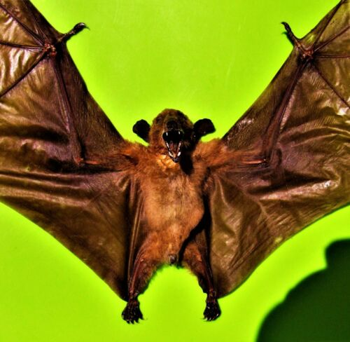 Real Dagger-toothed Long-nosed Fruit Bat Macroglossus minimus Spread FAST USA