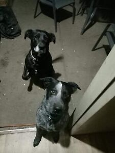 Blue Heeler & Kelpie