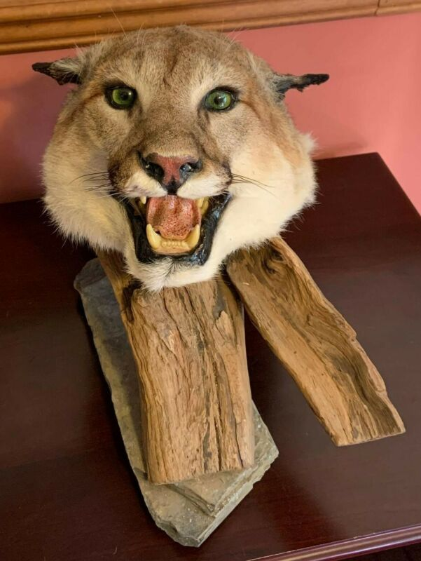 Taxidermy Puma head mount