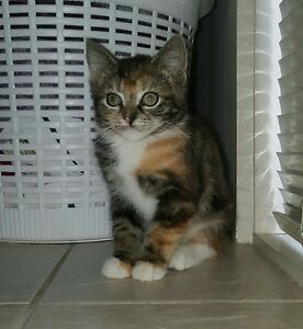 8 Week Old Kittens Desexed & All Vet Work Done Sydenham Brimbank Area Preview