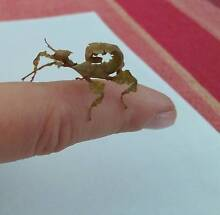 Spiny Leaf Insects for sale in Boronia Boronia Knox Area Preview