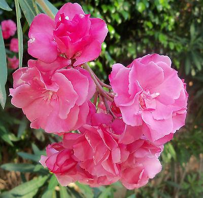 20' Plenum (Ein Traum in rosarot !1 kleine Pflanze  vom Rosenum Plenum ca. 20 - 30 cm )