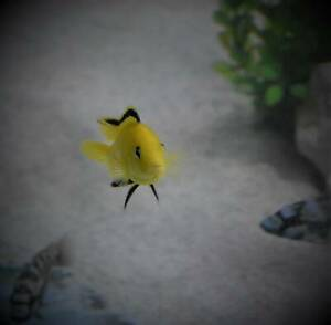½ Price Sale Electric Yellow Fry African Cichlid