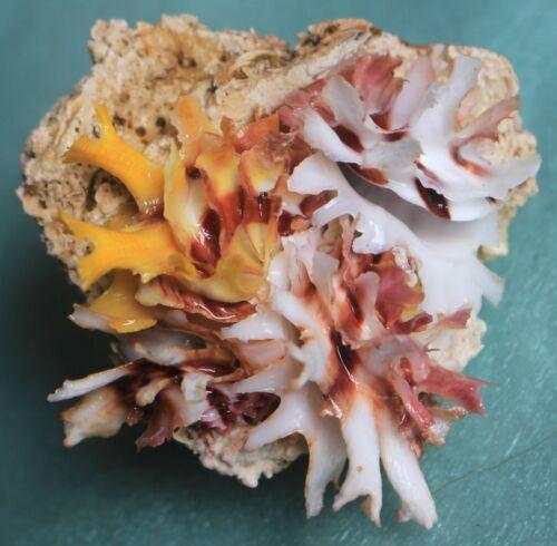 Sea shells chama lazarus  rare color 70mm caught in Bohol  Sept 281 2021