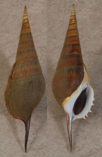 Seashells Tibia curta 154mm F+++/GEM with operculum TRUE CONCHS marine specimen