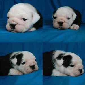 Southern Cross Bulldog Pups Inverell Inverell Area Preview
