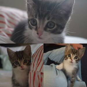 Kittens and mom ready for forever homes Amaroo Gungahlin Area Preview