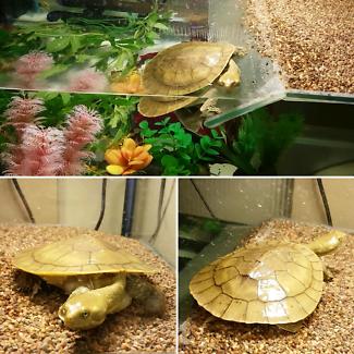 Turtle + Tank & Accessories