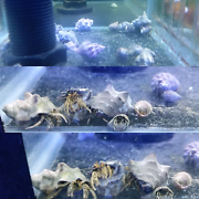 Hermit Crab's (Clean up Crew) Westmead Parramatta Area Preview