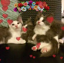 Ragdoll X Domestic Long Hair Kittens For St Valentine's Day!! Blackburn North Whitehorse Area Preview