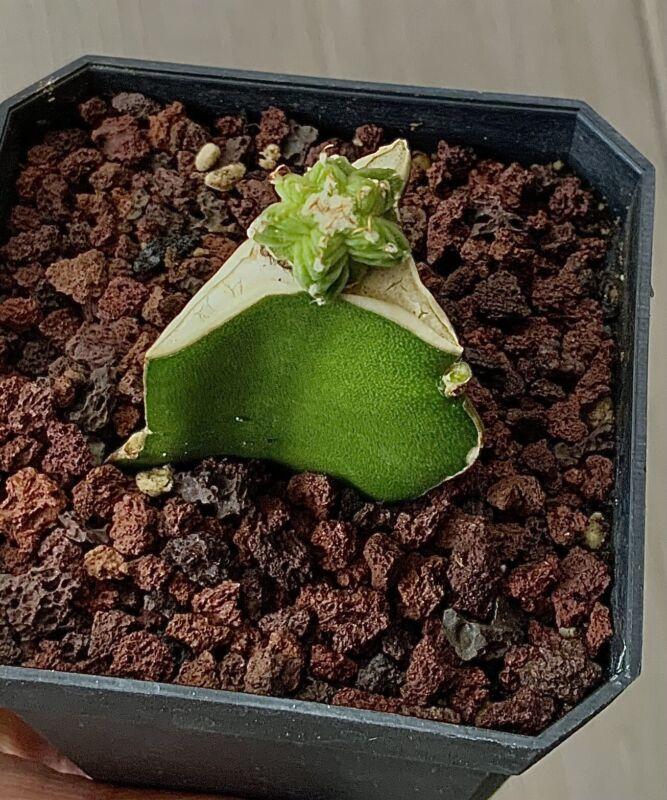 aztekium valdezii Grafted very rare. 1.6 Cm Across,New cactus Ariocarpus