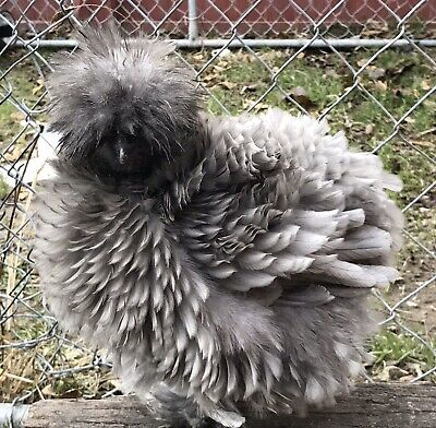 "12RARE ""SERAMA/Silkie/Showgirl Surprise""Hatching Eggs (See Description )"