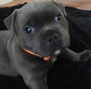 Blue English Staffy puppies