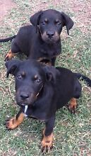 Rottweiler (pure bred) x Bordercollie/Lab pu Lissner Charters Towers Area Preview