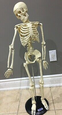 Human Anatomical Anatomy Skeleton Medical Model 35 Inch W Stand