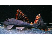 "L91 Three Beacon Pleco 5-6""! Live Tropical Fish absolutely stunning fish!"