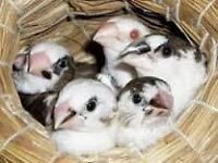 BABY BENGALESE FINCHES FOR SALE