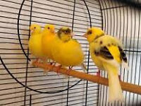5 Young Canaries