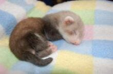 WANTED: Baby ferret Gawler Gawler Area Preview