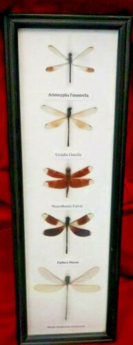 5 RealDragonflies mounted and Framed 5 × 14