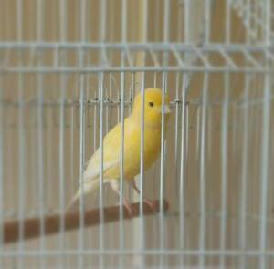 Border Fancy canaries
