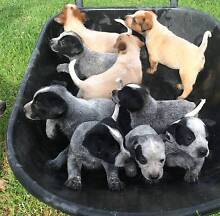 Purebred Red & Blue Heeler Puppies for sale Lake Albert Wagga Wagga City Preview