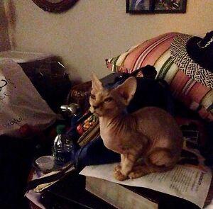 Sphinx kitten/4 months