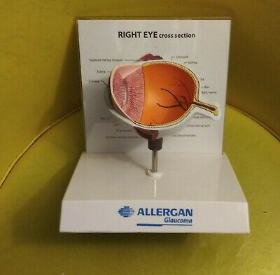 Allergan Glaucoma Display Right Eye Cross Section Anatomical Model