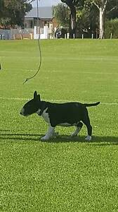 English Bull Terrier PUPPY MISSING Willagee Melville Area Preview