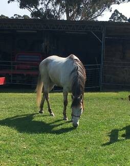 16hh Grey Thoroughbred gelding